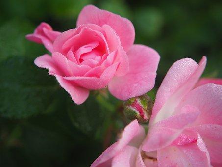 Rose Bloom, Blossom, Bloom, Rose, Pink, Flower, Garden