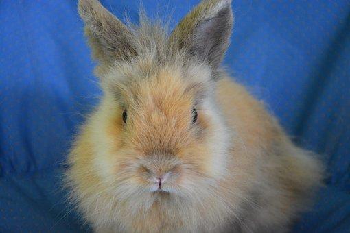 Dwarf Rabbit, Rabbit Lion Head, Eyes, Nose, Ears, Soft