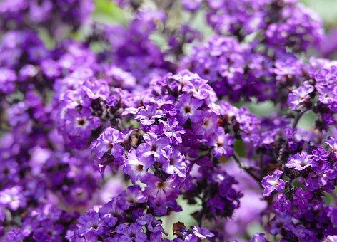 Vanilla Flower, Fragrance, Heliotrope, Solstice