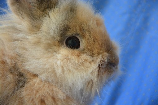 Dwarf Rabbit, Head Profile, Eyes, Whiskers, Animal