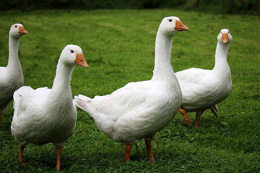 Geese, White, Poultry, Free Running, Bio