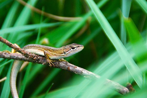 Lizard, Brown, Animal, Nature, Wildlife, Wild, Reptile