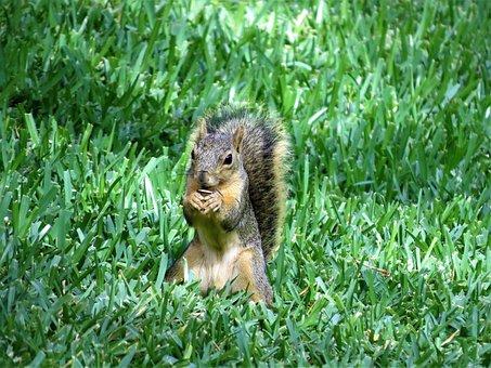 Squirrel, Wildlife, Brown, Green Grass
