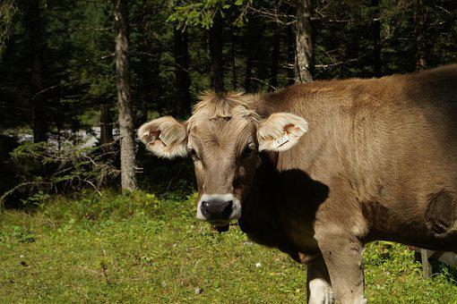 Cow, Beef, Pasture, Animal, Meadow, Alm, Nature