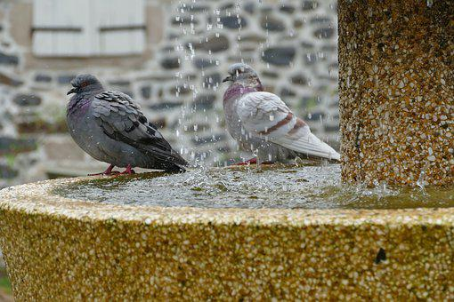 Pigeon, Bird, Fauna, Couple, Torque, Fountain, Water