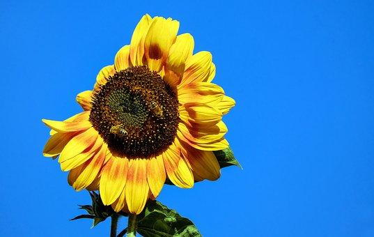 Sun Flower, Flower, Blossom, Bloom, Yellow, Red