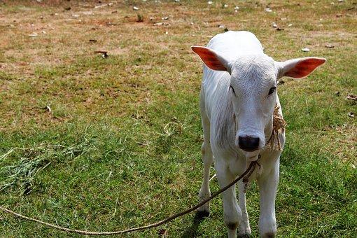 Calf, Small, Animal, Cute, Standing, Countryside