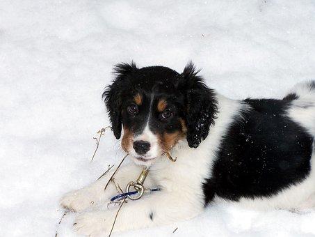 English, Springer, Spaniel, Dog, Puppy, Doggy, Canine