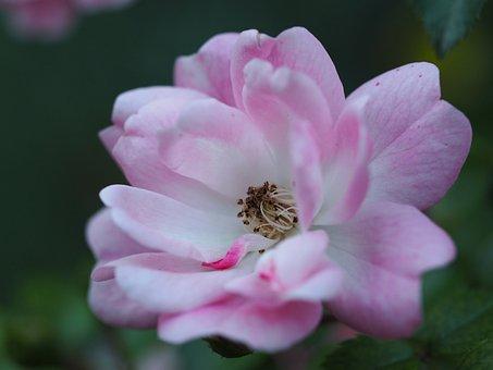 Flower, Romance, Garden, Nature, Background, Romantic