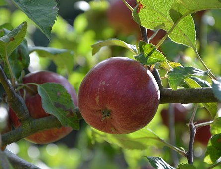 Apples, Apple, Red Apple, Fruit Tree, Orchard, Nature