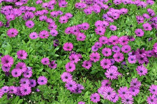 Purple, Flowers, Garden, Purple Flowers, Nature, Floral