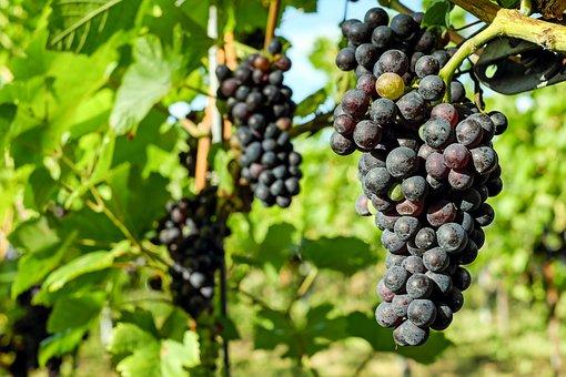 Grapes, Fruit, Vine, Grapevine, Winegrowing