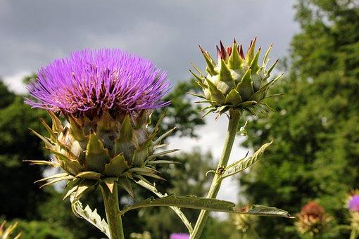 Artichoke, Plant, Healthy, Blossom, Bloom