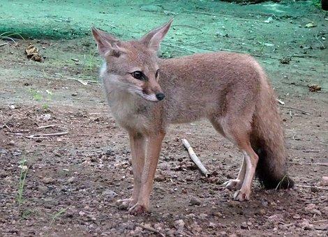 Fox, Bengal Fox, Vulpes Bengalensis, Indian Fox, Mammal