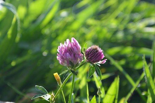 Flowers Purple Clover, Nature, Prairie, Fields, Field