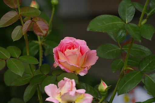 Rose, Flower, Nature, Pink, Blossom, Bloom, Rose Blooms