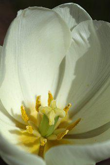 White, Tulips, Flower Picture, Plant, Nature, Flower