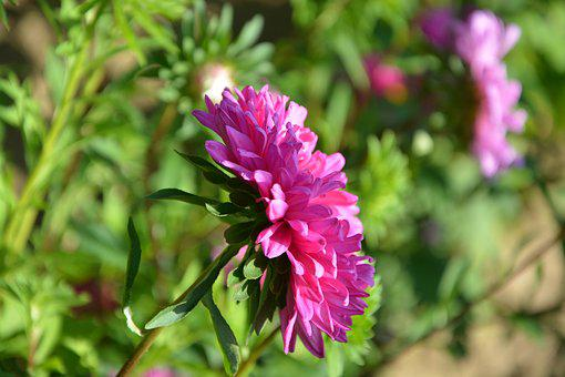 Flower, Profile Of Flower, Pink, Fushia, Green Leaves