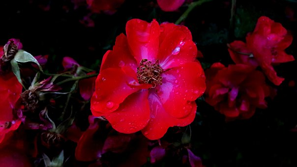 Ros, Roses, Red, Flower, Flowers, Garden, Red Rose