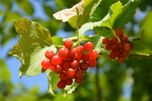 Viburnum, Shrub, Red Fruit, Not-edible, Toxic, Nature