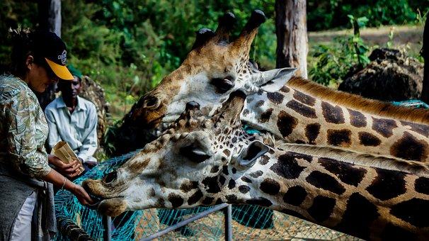 Giraffe, Wild, Feeding, Tourist, Animal, Outdoor