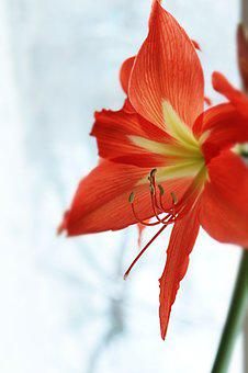 Lily, Red, Yellow, Green, White, Grey, Winter