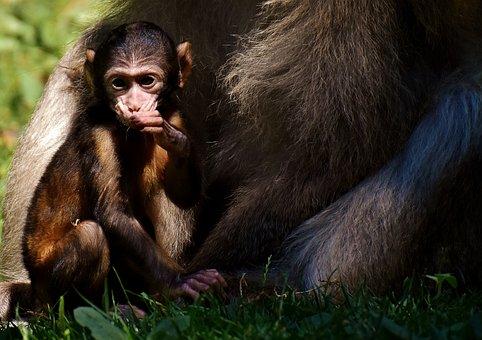 Ape, Barbary Ape, Baby Monkey, Endangered Species