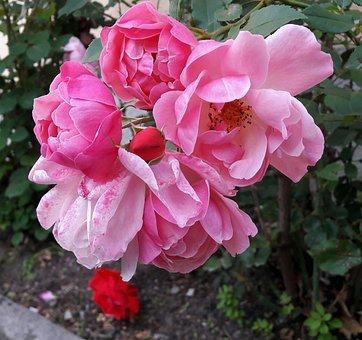 Ros, Roses, Beautiful, Beautifully, Park, Rospark