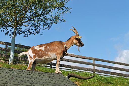 Goat, Roof, Farm, Pet, Log Cabin, Stand, Bell