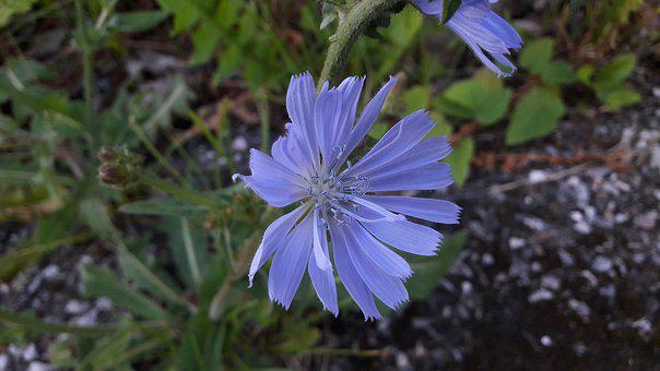 Light Blue, Blue, Flower, Summer, Nature, Flowers