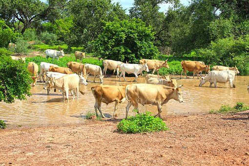 Cows, Stream, Cattle, Nature, Landscape, Green, River