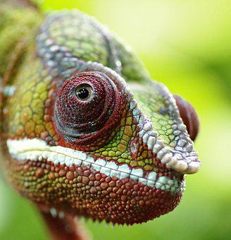 Chameleon, The Head Of The, The Lizard, Colored, Gad