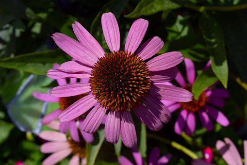Flower, Pink, Echinacea, Petals, Nature, Floral, Plant