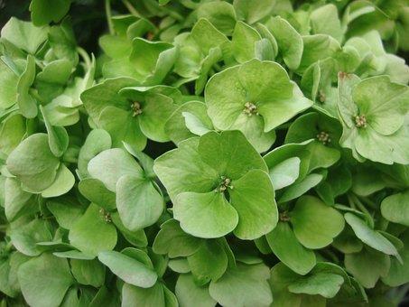 Hydrangea, Flowers, Green, Flora, Ornamental Shrub