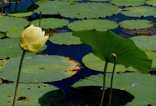 Flower, Yellow, Petals, Water Lily, Nature, Floral