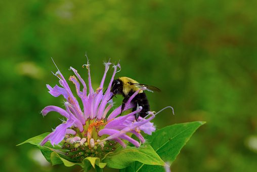 Bee, Bumble Bee, Flower, Insect, Nature, Animal, Yellow
