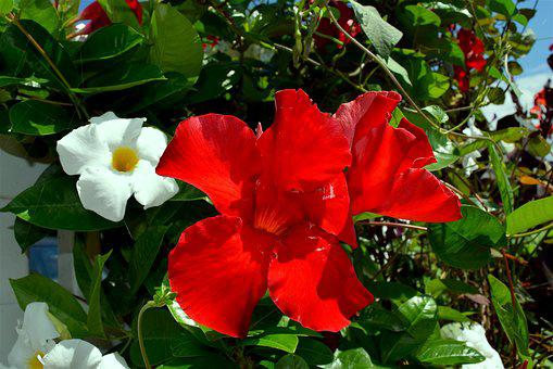 Flower, Red, White, Petals, Nature, Floral, Plant