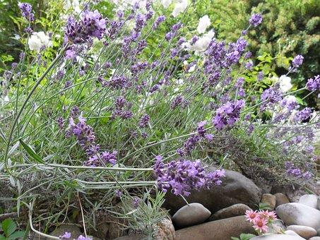 Flowers, Lavender, Crop