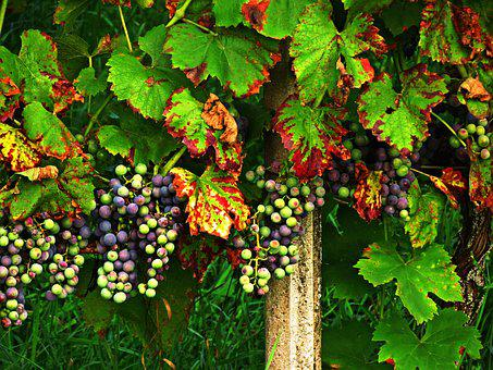Grapes, Foliage, Autumn, Fruit, Colors