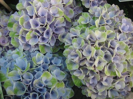 Hydrangea, Flowers, F, Blossom, Bloom, Nature, Plant