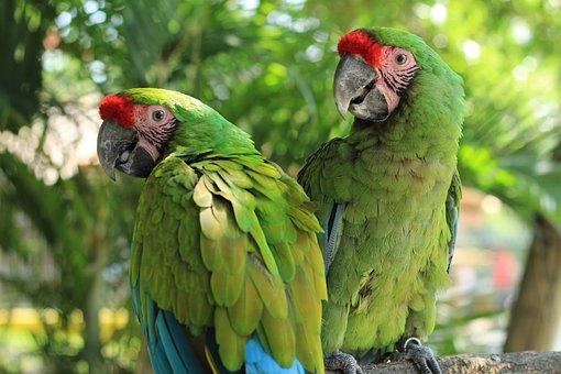Parrot, Macaw, Green, Ave, Bird, Tropical Bird, Animal