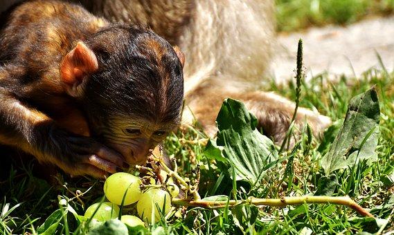 Ape, Baby Monkey, Barbary Ape, Monkey Mountain Salem