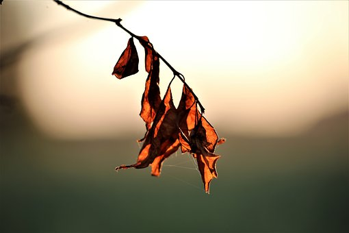 Dried Leaves, Evening, Nature, Plant, Brown, Sunset