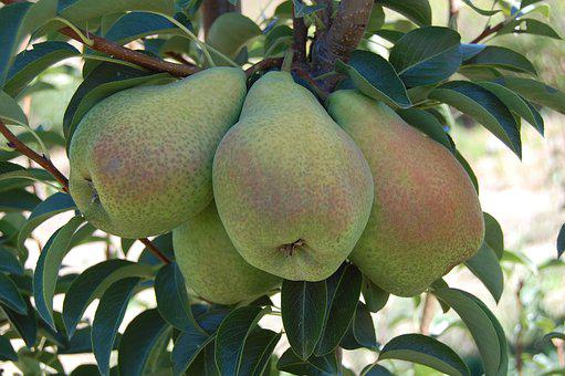 Pears, Fruits, Organic Fruits