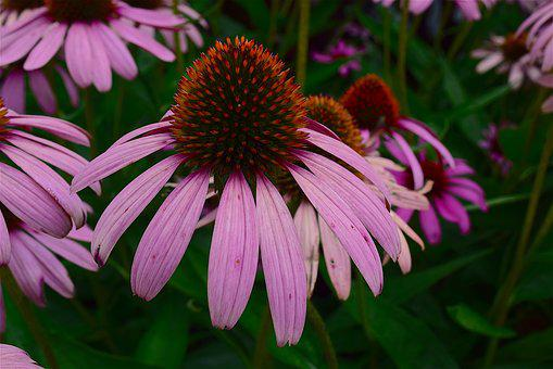 Flower, Pink, Echinacea, Nature, Floral, Plant, Blossom