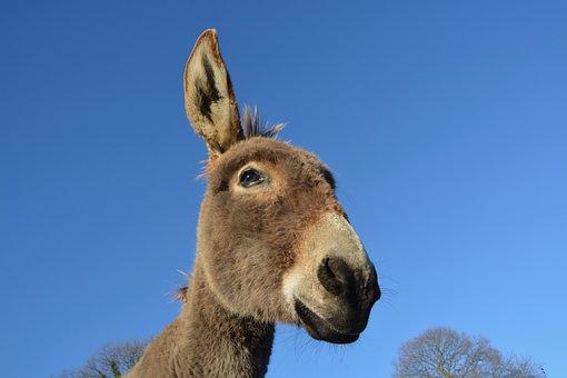 Donkey, Head, Profile, Long Ears, Equine, Animal