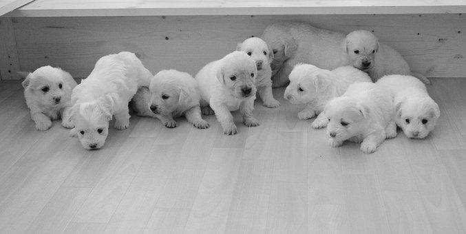 Puppies, Golden Retriever, Babies, Complicity, Soft