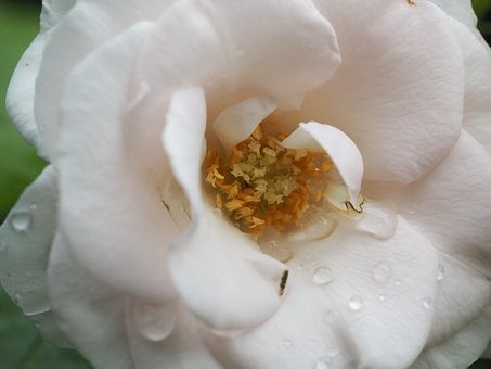 Rose, Romance, Romantic, Love, Rose Bloom, Flowers