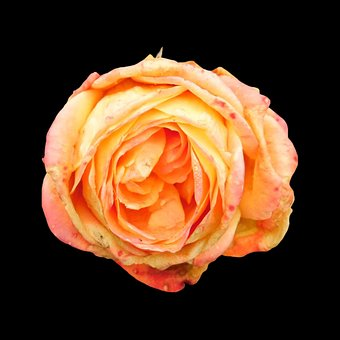 Rose, Faded, Blossom, Bloom, Orange