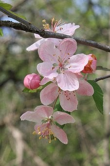 Pink, Apple, Blossom, Fruit, Tree, Nature, Spring